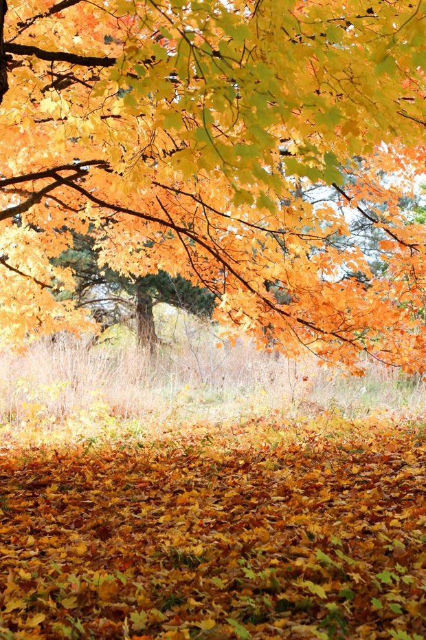 golden-fall-trees