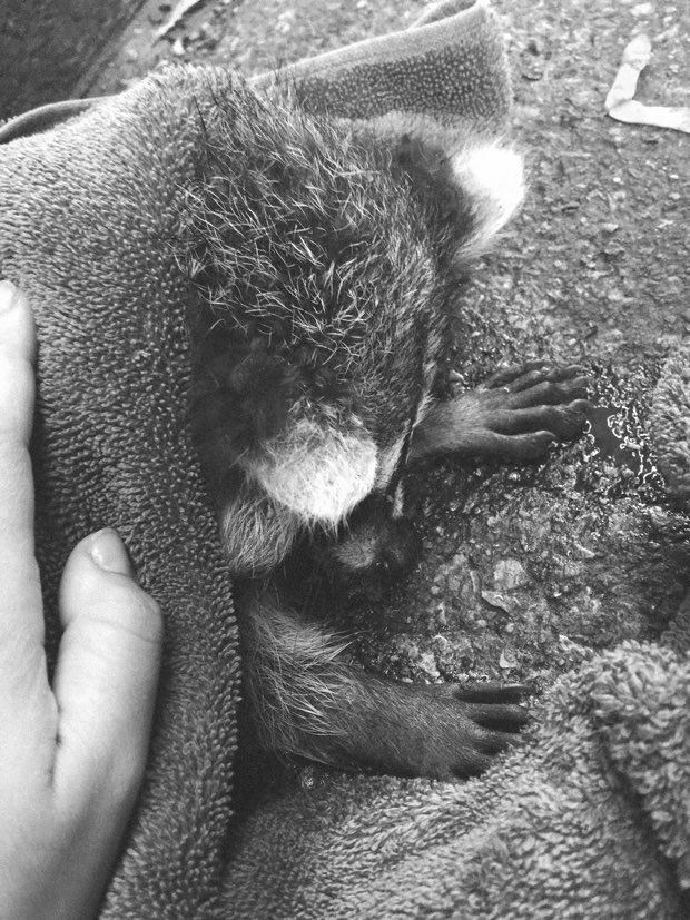 baby-raccoon-rescue-in-toronto